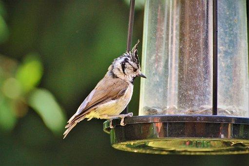 Crested Tit, Tit, Bird, Animal, Foraging, Food, Garden