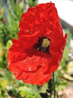 Poppy, Hatching, Spring, Red