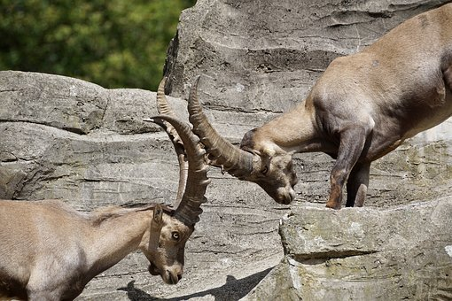 Ibex, Male, Horned, Mammal, Nature, Horns, Capricorn