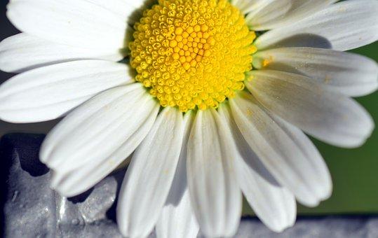Marguerite, Blossom, Bloom, White, Flower, Nature
