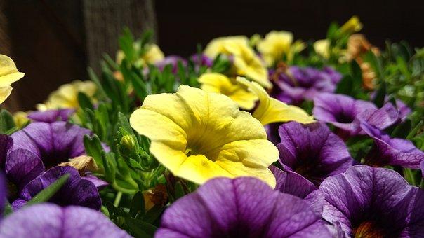 Petunia, Flower, Purple, Yellow, Spring, Gardening