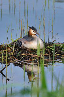 Great Crested Grebe, Nest, Breed, Reed, Water Bird