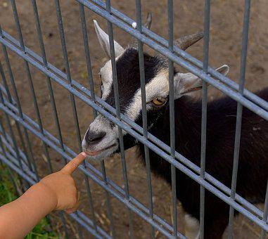 Goat, Fence, Finger, Small Child, Small Hand, Farm
