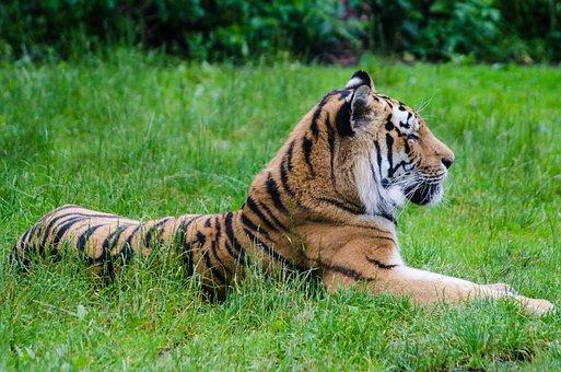 Tiger, Grass, Mammal, Animal, Cat, Feline, Striped