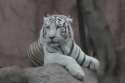 Animals, Feline, Animal, Wild, Zoo, White, Wild Cat