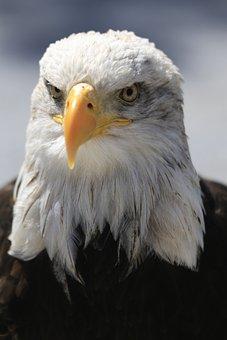 Adler, Eye, Bill, Raptor, White, White Tailed Eagle