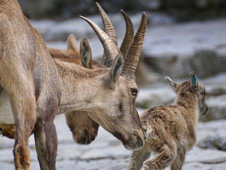 Capricorn, Female, Wild Animal, Mountains, Ibex, Nature