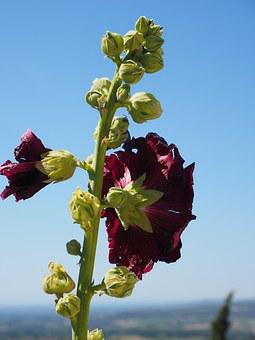 Stock Rose, Alcea Rosea, Purple, Red, Hollyhock