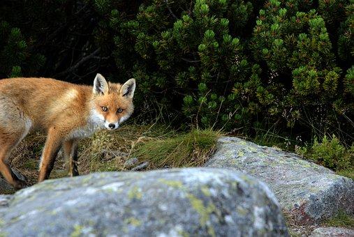 Fox, Animal, Predator, Slovakia, Tatry, Mountains