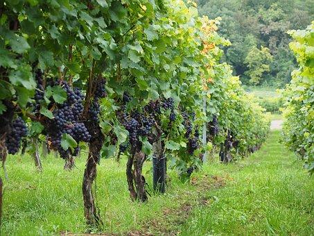 Vineyard, Wine Berries, Grapes, Berries, Blue, Pods