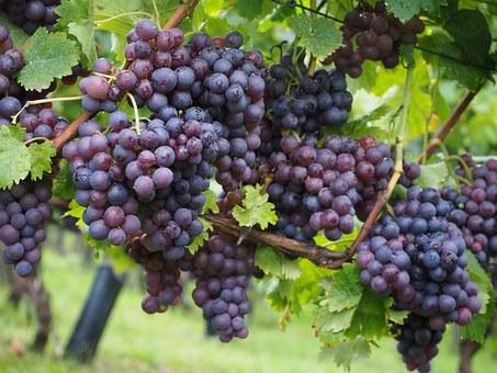 Wine Berries, Grapes, Berries, Blue, Pods, Vines, Vitis