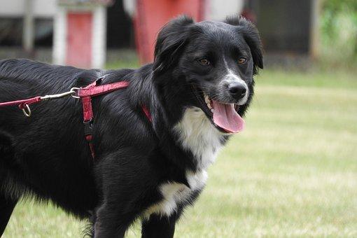 Border Collie, Collie, Black Dog, Dog On A Leash