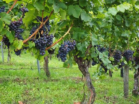 Wine Berries, Grapes, Berries, Blue, Pods, Vines, Vitis