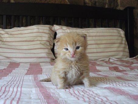 Kitten, Cute, Cat, Pet, Bed, Red Fur
