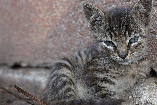 Baby Cat, Dear, Domestic Cat, Young Cat, Cat Portrait