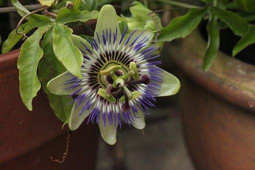 Passion Flower, Passion Plant, Flower Pot, Close-up