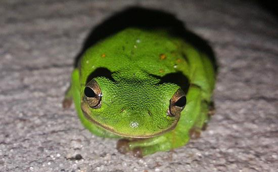 Frog, Tree Frog, American Green Tree Frog, Croak