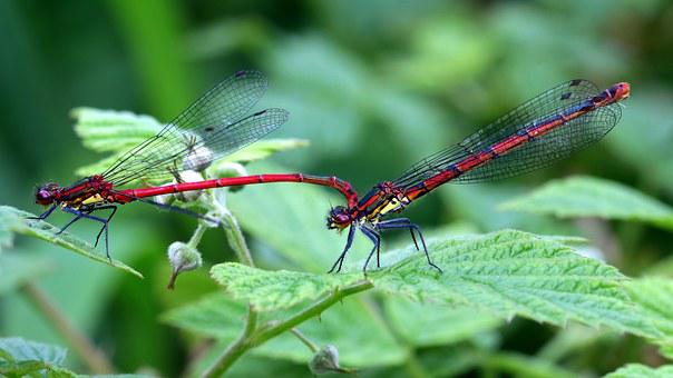 Dragonflies, Odonata, Early Adonis Maiden