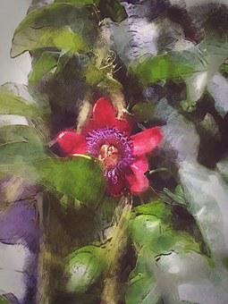 Passionflower, Exotic, Flower, Tropical, Flora