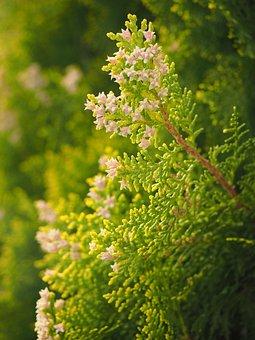 Thuja, Flowers, Female Flowers, Hedge, Evergreen