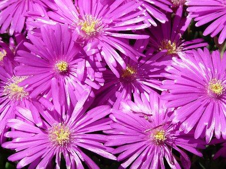 Red Mittagsblume, Ice Plant, Flower, Blossom, Bloom