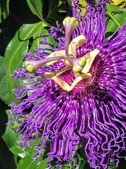 Passionflower, Flower, Bloom, Passiflora, Purple