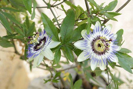 Passionflower, Herbal, Green, Flower