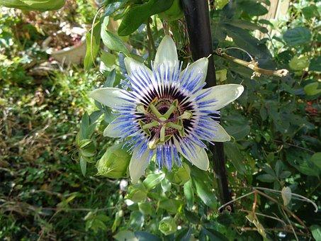 Passionflower, Flower, Garden