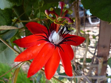 Flower, Red Passion Flower, Wildflower, Floral, Plant