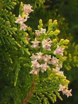 Thuja, Flowers, Female Flowers, Hedge, Periwinkle