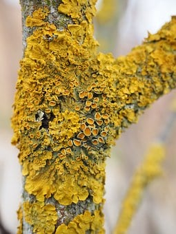Ordinary Gelbflechte, Tree, Fouling, Lichen, Branch