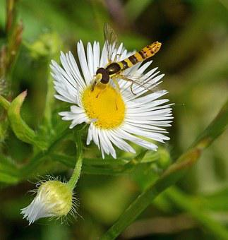 Daisy, Ordinary Long Belly Campestris, Hoverfly