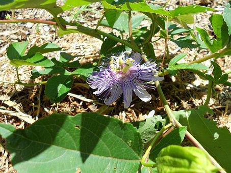 Passionflower, Flower, Purple, Leaves, Nature, Summer