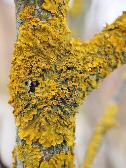 Ordinary Gelbflechte, Tree, Fouling, Lichen, Branch