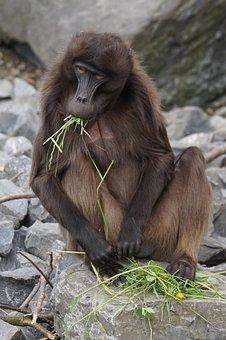 Dschelada, Monkey, Males, Primate, Social, Food, Eat