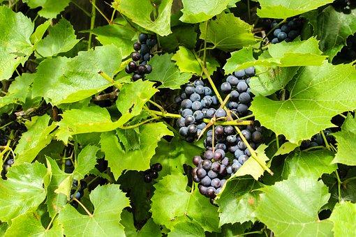 Grape, Berry, Nature, Fruit, Harvest, Outdoors, Food