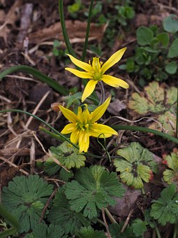 Forest - Yellow Star, Gagea Lutea, Ordinary Yellow Star