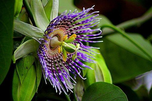 Flower, Passiflora Edulis, Floral, Plant, Natural