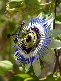Passiflora Caerulea, Passiflora, Passion Flower