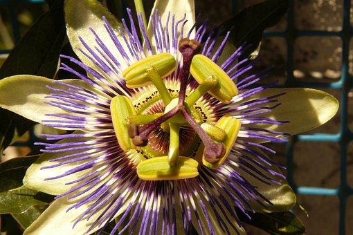 Passiflora, Flower, Passifloraceae, Symmetry