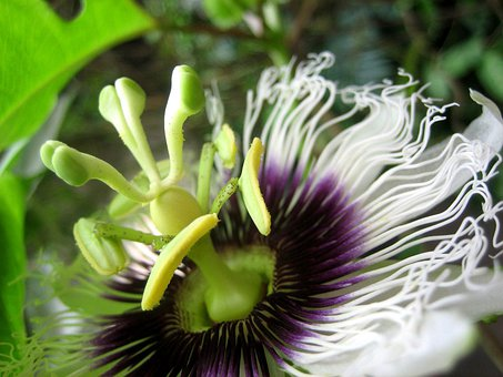 Passion Flower, Blossom, Bloom, Nature, Exotic, White