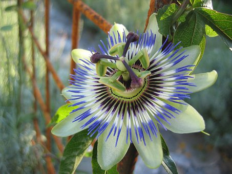 Passion Flower, Passiflora Caerulea, Flower
