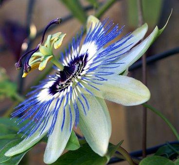 Passion Flower, Garden, Passion, Flower, Nature, Bloom