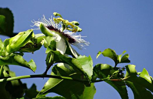 Passion Flower, Flower, Passion Fruit, Passionfruit