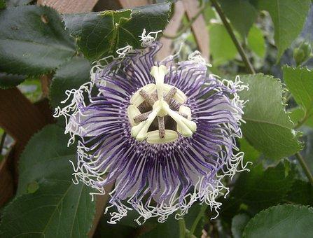 Flower, Purple Flower, Passionflower, Plant