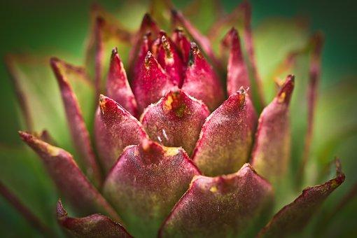 Houseleek, Plant, Ordinary House Turmeric
