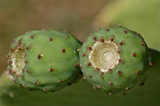 Fruit, Prickly Pear, Prickly Pear Cactus, Cactus
