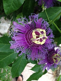 Passionflower, Flower, Purple, Spring, Summer, Nature