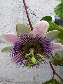 Passionflower, Passiflora, Flower, Rare Flower, Pistil