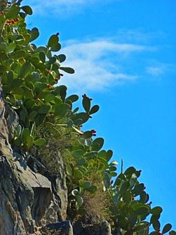 Prickly Pear, Cactus, Rock, Sky